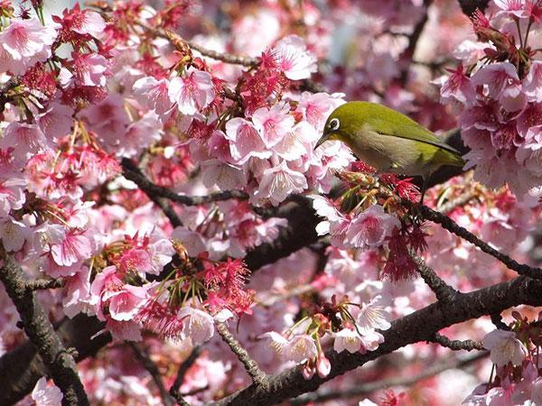 02_熱海桜50002-0046