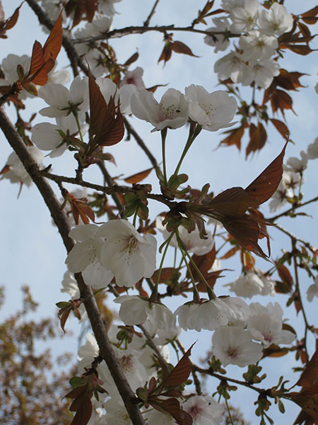 02_C山桜