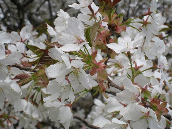 03B_大島桜