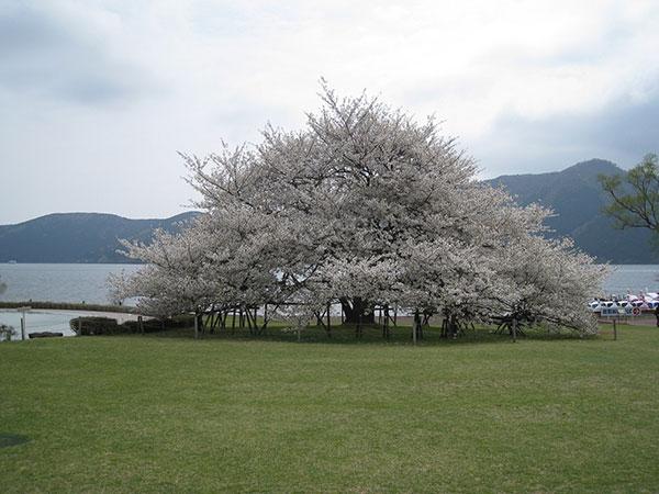 03A_箱根園大島桜