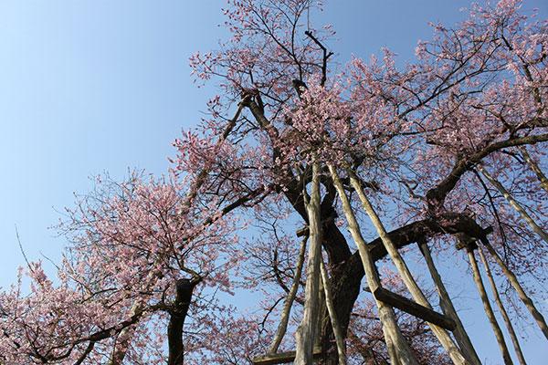 04_D伊佐沢の久保桜