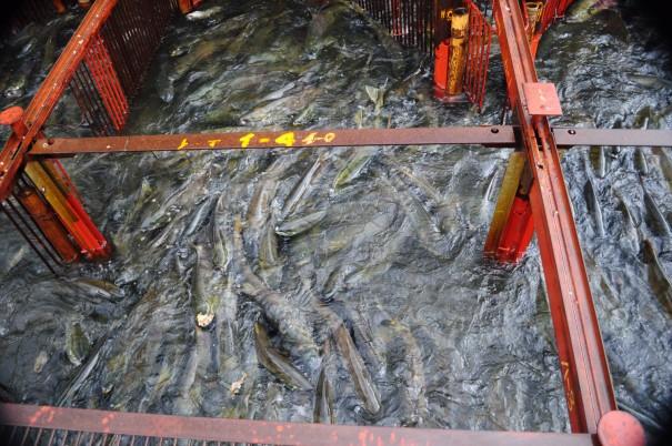 「ウライ」と呼ばれる鉄柵の中で泳ぎ回る鮭。