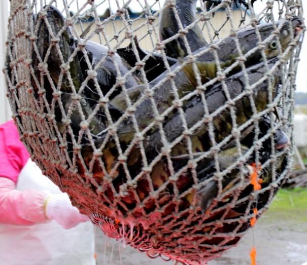 網ですくわれた鮭。すでにイクラが飛び出している。