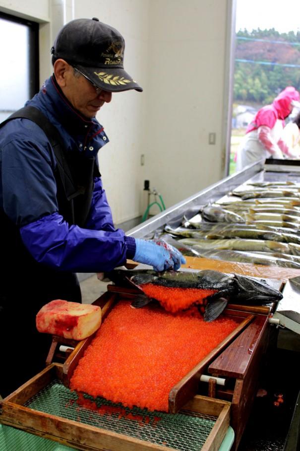 メスの鮭を処理する尾形さん。