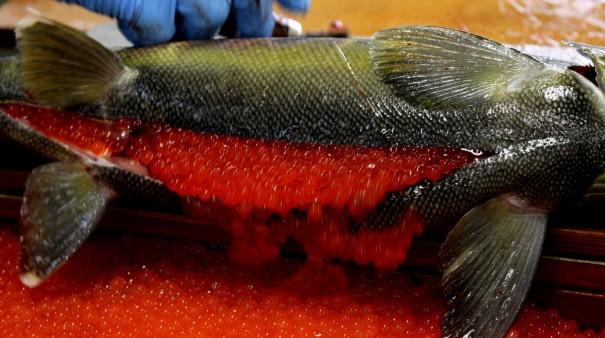 鮭のメスの腹を鋭い刃物で切り開きイクラを流し出す。