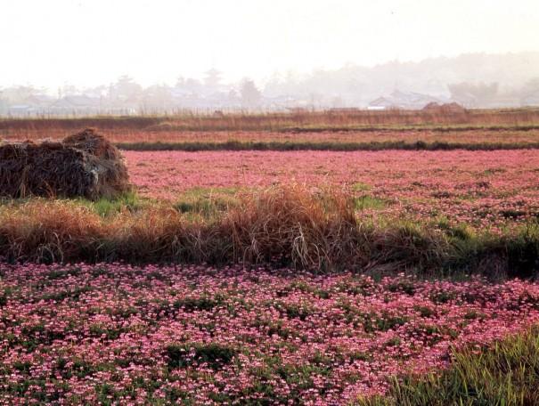「斑鳩れんげ畑」。斑鳩の春の風物詩的景観。