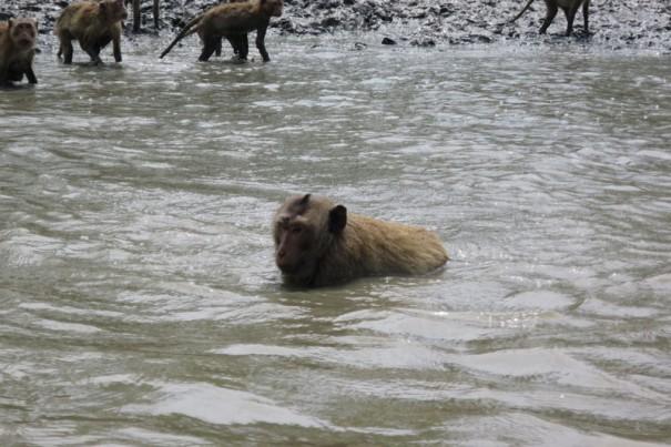 流れに逆らい泳ぐのが上手なサル 。