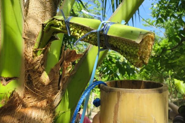 ココヤシの花から竹の筒に蜜を集める。