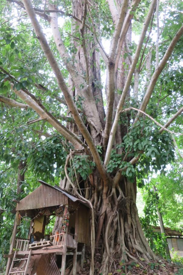 ジャングルのなかには見上げるほどの大きな木が。小さな祠も。