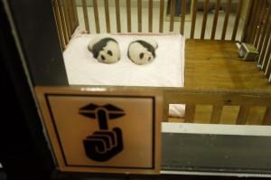 )四川省が故郷といわれるパンダ。郊外にある『成都ジャイアントパンダ繁殖研究基地』では生まれて間もない、双子の赤ちゃんパンダにも会うことができました。