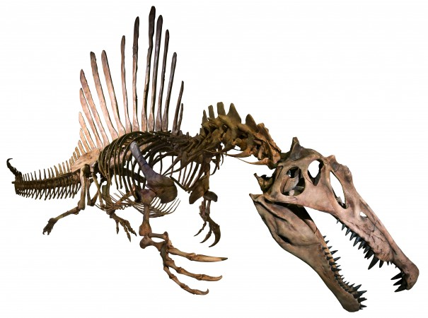 スピノサウルスの全身復元骨格(正面)(C)Courtesy of the University of Chicago