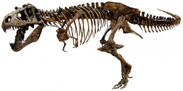 ティラノサウルス「スコッティ」の全身復元骨格(C)Courtesy of The Royal Saskatchewan Museum
