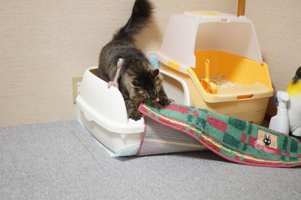 病気がちだったため、里親を募集せず、そのままわさびちゃんちの飼い猫になったつゆちゃん。今やわさびちゃんち一番のお転婆娘に成長。こらこら、トイレに敷物を入れないの!