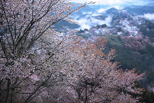 奈良のサクラを代表する吉野山。写真は上千本からの展望。