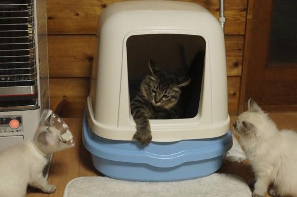 つゆ先輩のおトイレの様子を見学中の保護子猫のもめんちゃん(左)ととうふちゃん(右)。つゆ先輩、焦っているようです。