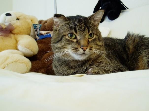 元気だった頃の、入交先生の愛猫・小太郎くん。