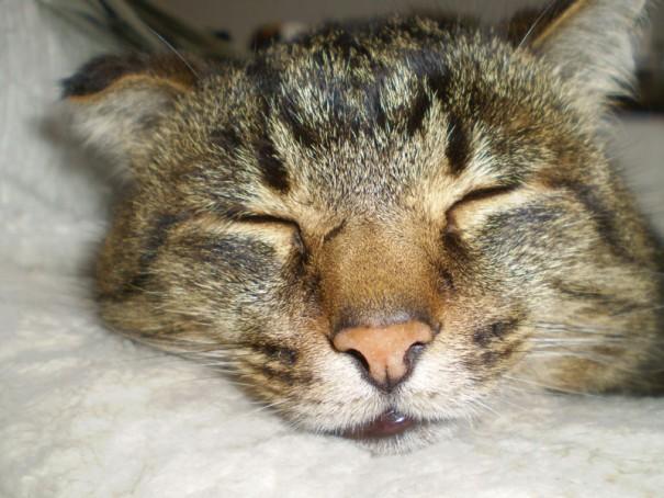 すやすや眠る小太郎くん。お母さんの夢を見ていたのでしょうか。耳や鼻の頭、手の先には、野良猫時代に遭遇した交通事故の傷跡がありました。