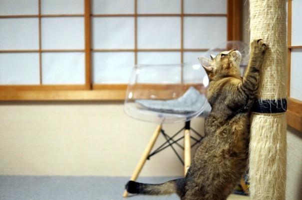 アジア「僕がこのうちの猫の中では一番大きいんだぞーって、爪とぎしてみんなに知らせるんだ」