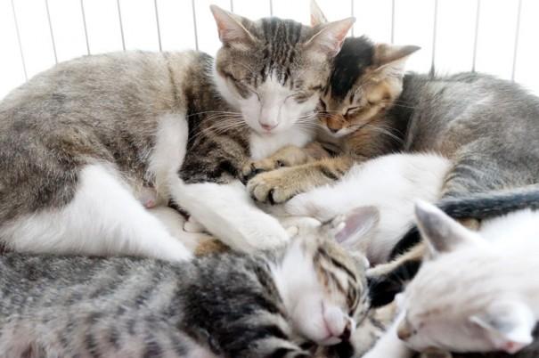 子煩悩お母さん猫のにがりちゃん。自らお腹を痛めて産んだ子猫たちと一緒に、他の母猫が産んだアジアも一緒に子育てしてくれました。ありがとう、にがりちゃん。