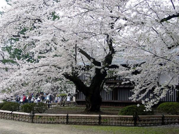 明治15年(1882)に植栽された弘前城二の丸のソメイヨシノ。現存する日本最古のソメイヨシノで今も花を咲かせる。