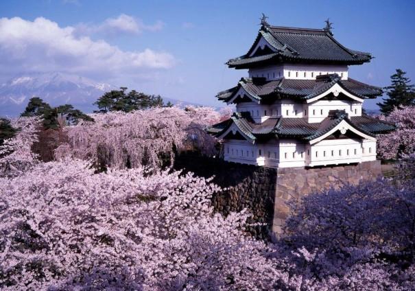 「日本一」の呼び声が高い弘前城の桜。石垣修繕のため、現在この天守は70m 移動している。天守がない状態を見られる機会をお見逃しなく。