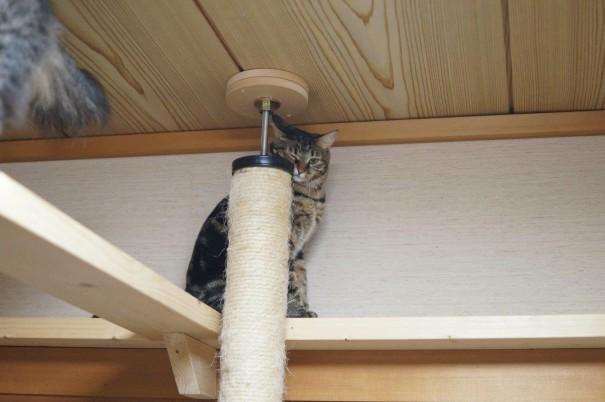 高いところにいれば部屋の中を一望できるし、飼い主さんの居場所も確認できる。一味ちゃんも父さんと母さんが造ってくれた天井間近のキャットウォークが大好き。