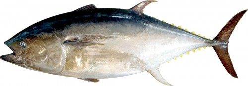 クロマグロ 本マグロとも呼ばれ、まぐろのなかでは一番体が大きく、体長は2.5〜3メートル、体重は300キロ前後あります。