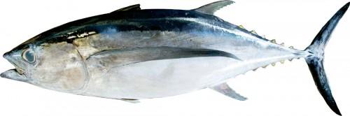 ビンナガ(ビンチョウ)マグロ まぐろの中では一番小さく、体長は1メートルほど。胸ビレが長いことから、トンボマグロと呼ばれることも。肉は白っぽく、ツナ缶詰に使われるのは主にこのまぐろ。加熱しても固くならない特徴があります。