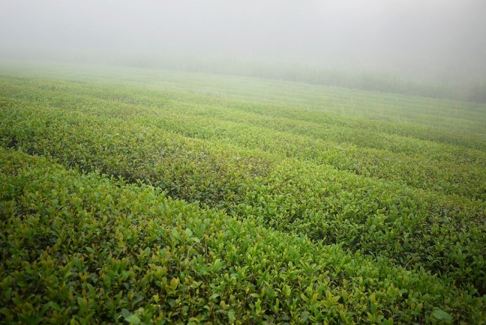 「天の製茶園」が力を入れる、在来種の茶畑。