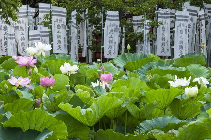 源平池には源氏と平家の旗色を象徴する紅白のハスが咲く。