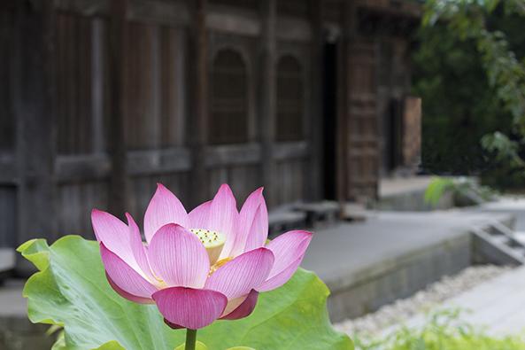 凛とした禅寺の境内を彩る建長寺のハス。
