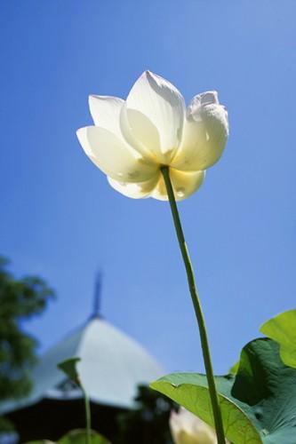 特徴のある夷堂の屋根を背景に咲く本覚寺のハス。