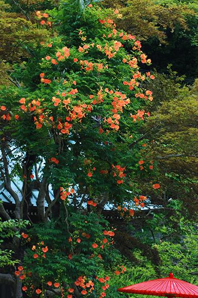 天に向かって立ち上るように咲く海蔵寺のノウゼンカズラ。