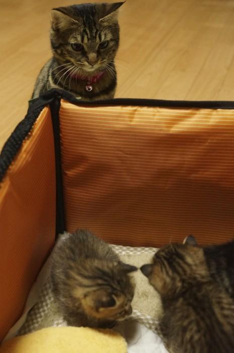 初めて後輩猫を迎えた時のわさびちゃんちの一味ちゃん。母さんが保護した子猫たちをじーっと見つめて、観察していました。