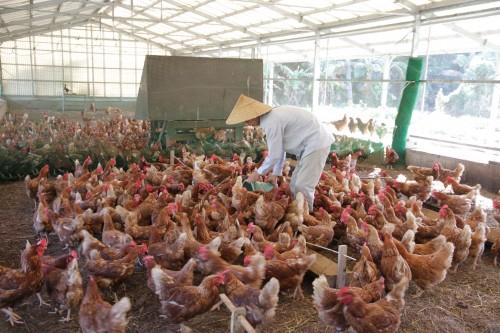 鶏の品種はボリスブラウン、体の色と同じく、卵の殻も茶色です。