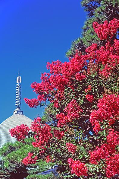 夏の鎌倉を代表する花風景、サルスベリと本覚寺夷堂。