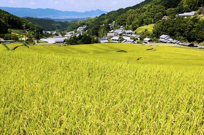 二上山を背景に穂を垂れる稲田。