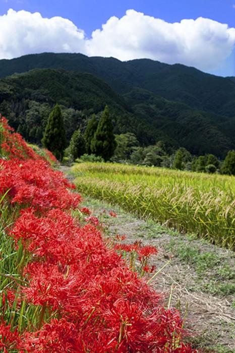 葛城山を背景にした畦道に咲くヒガンバナ。