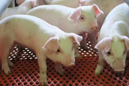 平野養豚場で生まれた子豚たち。しばらくは母豚の元で育てられる。