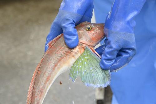 粋のいい魚を手に取って見せてくれるマルト水産の平野さん。