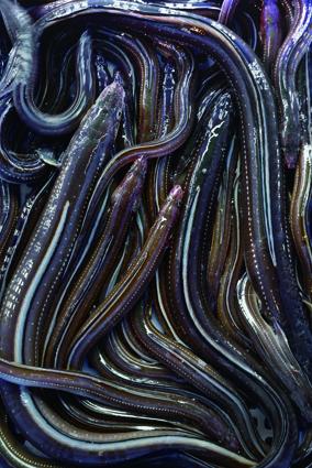 松島湾の穴子(マアナゴ)は春から秋が漁期。旬は脂の乗る7月から9月だ。杉原さんは開いた穴子の直売もする。e杉原功商店?022・354・2319