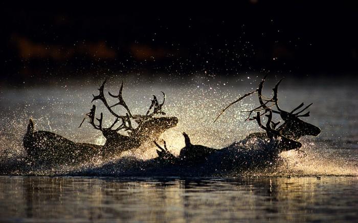 「夕暮れの極北の河を渡るカリブー」撮影:星野道夫