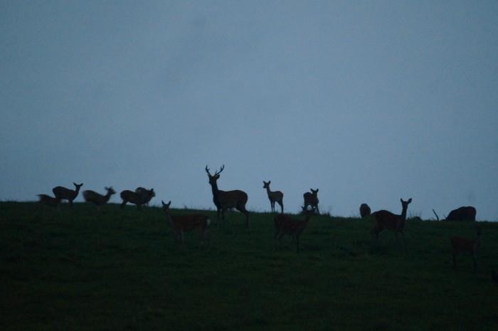 茶臼山高原、牧場の丘シカの群れ。