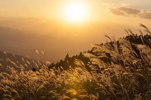 夕日に輝く葛城山頂のススキ。