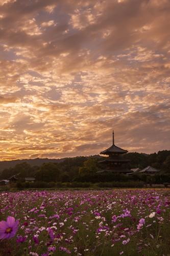 法起寺三重塔を彩るコスモス。