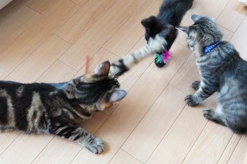 わさびちゃんちの猫たち。一味ちゃん「でんすけ、これは私のよ!(ぺしっ)」