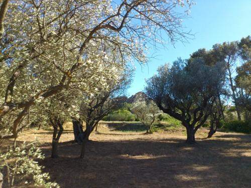 ゴッホが描いたオリーブ畑。