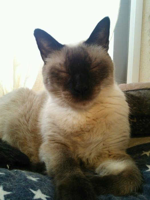 12歳のシャムの雄猫、レオン。最近は寝ている時間が増えたけど、まだまだおもちゃ遊びは大好きで、時には華麗なジャンプを見せてくれます。猫の方舟レスキュー隊で里親募集中。