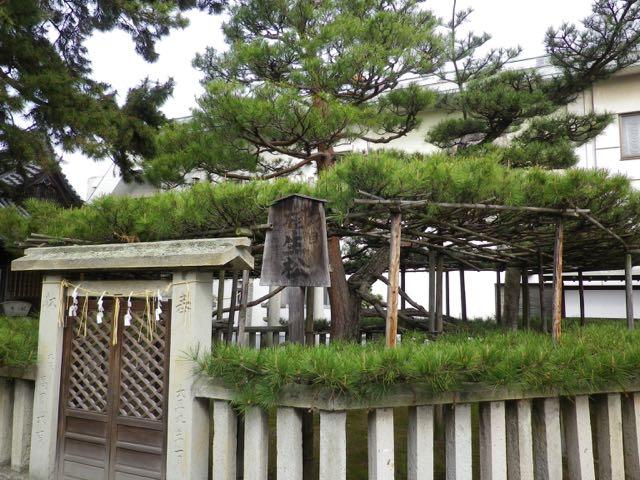 高砂神社にある五代目相生の松。