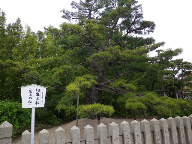 尾上神社境内にある七代目尾上の松。